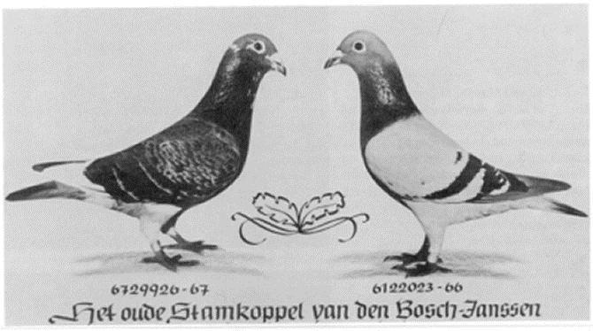 Základný chovný pár - De Oude van den Bosch x Janssenka